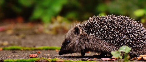 herisson-hedgehog-3703244_1920